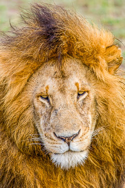 Lion-Full-Mane_MG_7493-Edit.jpg
