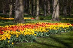 Holland-Tulips-041612-106-Edit.jpg