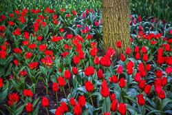 Holland-Tulips-041612-131.jpg