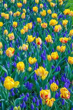 Holland-Tulips-041612-20.jpg