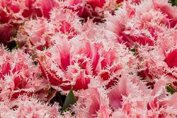 Holland-Tulips-041612-217.jpg