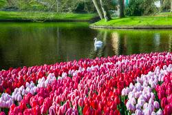 Holland-Tulips-041612-59-Edit-2.jpg